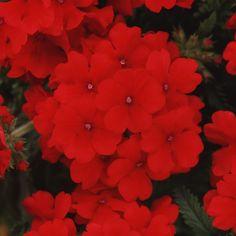 Scarlet Verbena Seed | Quartz XP Series Summer Flowers, Red Flowers, Beautiful Flowers, Scarlet, Wine Red Color, Gold Medal Winners, Annual Flowers, Garden Seeds, Verbena