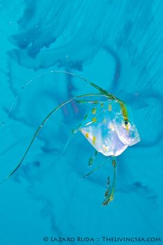 Juvenile lookdown fish with moon jellyfish, via Flickr.