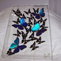 No Butterflies Have Been Harmed In The Production Of My Pieces Of Art! This is a 12 x 17 x 3 Custom Display consisting of a Swarm of Authentic Butterflies. The Mosaic patterned Butterflies are raised in an Aviary in Papua, New Guinea and the Iridescent Metallic Blue Butterflies are raised in an Aviary in Brazil. These Butterflies have a very short Lifespan and upon their expiration, they are preserved and packaged for exportation. I work with only Reputable Suppliers that follow all…