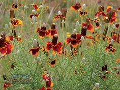 A guide to the wildflowers of Texas, the Lone Star State. Easy To Grow Flowers, Growing Flowers, Pretty Flowers, Wild Flowers, Prairie Garden, Mexican Hat, Gravel Garden, Drought Tolerant Plants, Flower Hats
