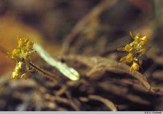 Taeniophyllum robustum