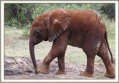 MBEGU - Elephant Orphan History - David Sheldrick Wildlife Trust --- foster an orphaned elephant