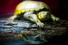 Rueben, Texas Mud Turtle