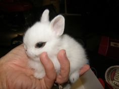 Dwarf hotot bunny my momma jus got one. It's adorable!!! ;D I can't wait to see it in person!!! ;D