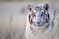 OMG love white tigers.
