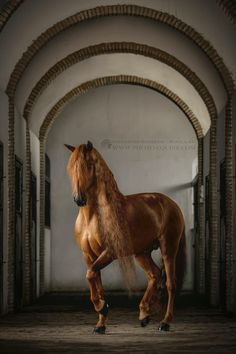 Gotan - an amazing Lusitano stallion owned and trained by Clemence Faivre. This horse is a real artist!  Photographed in beautiful old stables in heart of Andalusia, Spain.   © Katarzyna Okrzesik-Mikołajek