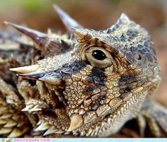 Creepicute: Horned Lizard -- Fun Fact: The Horned Frog, TCU's distinctive mascot is actually a lizard and the only known horned frog mascot in sports history.