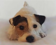 jack russell face closeup