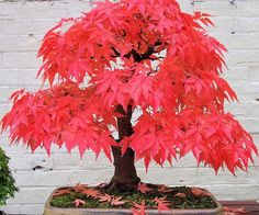 Red Maple Bonsai Tree Kit  Achieve inner peace while adding a touch color to your homes decor with the red maple bonsai tree kit. The life giving kit comes with everything necessary to grow your very own miniature tree  making it an ideal gift for any member of the family.  $4.99  Check It Out  Awesome Sht You Can Buy