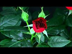 Resultado de imagem para do budding in rose plants Comment Planter Des Roses, Rosas Gif, Birthday Wishes Greetings, Birthday Songs, Planting Roses, Garden Roses, Blooming Rose, Spring Is Coming, Exotic Flowers