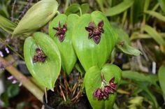Pleurothallis phymatodea x Pleurothallis teaguei. Orchidaceae: Pleurothallidinae. By Gilberto de Geus. [x]