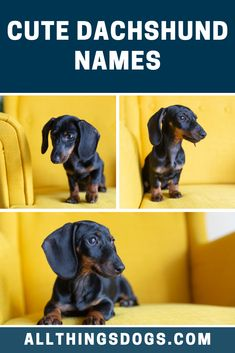 German in origin, Wilbur is one of those rare and cute Dachshund names that is so great for your dog. It means 'resolute and brilliant', so this could be perfect for determined pups. Check out our list for more such ideas.  #cutedachshundnames #dachshundnames #cutenamesforadachshund Brown Dachshund, Dachshund Puppies, Puppy Names, Dog Names, Cute Dogs Breeds, Dog Breeds, Short Boy Names, Roman Goddess Of Love, Old English Names