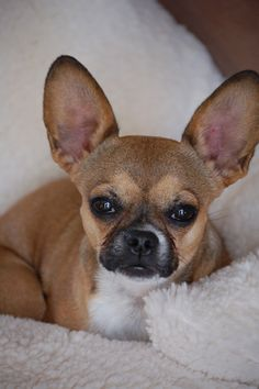 Nashville Tn Chihuahua French Bulldog Mix Meet Peeta And Prim