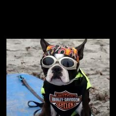 in honor of #HarleyDavidson fest this weekend in #Milwaukee- surf dog in Harley gear on the #beach, how cute!