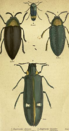 Antique Insect Beetle Prints - Framed. Great imagery of beetles, giclee prints with deep color saturation. Available in many sizes framed. Made in USA  #insects #beetles  #antique_prints