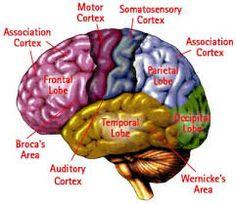 75 best Gehirn images on Pinterest   Anatomy, Medicine and Neurons