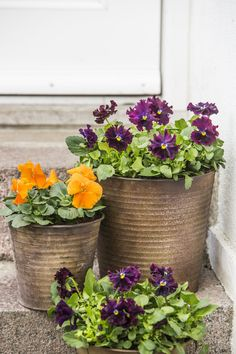 nice grouping of pansy pots