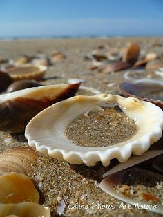 "Poster 75x50cm réalisé à partir d'une photographie de Céline Photos Art Nature "" Mer et coquillages "" : Photos par celinephotosartnature Celine, Pudding, Coups, Dimensions, Desserts, Posters, Sea Shells, Photography, Seasons"