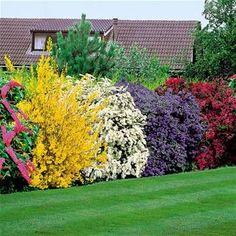 5 hermosos arbustos para plantar en el patio.  bueno para la privacidad y muy agradable a la vista!  colores tan bonitos!  buddiea (rosa), spectabilis forsythia (amarillo), arguta spirea (blanco), punto ceanothus yankee (azul), y weigelia (burdeos):