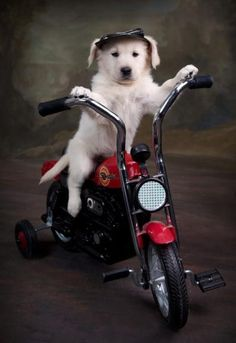 White Golden Retriever Puppy on motorcycle. For all your organic dog treats visit www.boneyardbakery.net