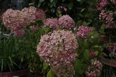 Hydrangea arborescens 'Pink Annabelle' - Rounded shrub with glossy dark green leaves and large round clusters of white flowers in summer. H 2.5m S 2.5m. Flowers July to August. Deciduous. Shelter from cold drying winds. www.thepavilion.ie