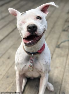 Things that make you go AWW! Like puppies, bunnies, babies, and so on. A place for really cute pictures and videos! Cute Puppies, Cute Dogs, Dogs And Puppies, Doggies, Pitbull Terrier, Pitbull Dog Puppy, Bull Terriers, Pet Shop, Education Canine