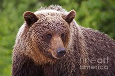 For bear lovers, the tote bags and throw pillows are stunning from Fine Art America! Available as prints, posters, greeting cards, tote bags, throw pillows, iPhone cases and duvet covers :-)