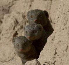 Mangusten Polar Bear, Animals, Zimbabwe, Ruins, National Forest, Animales, Animaux, Animal, Animais