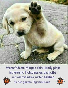 Guten Morgen Animals And Pets, Cute Animals, Good Morning All, Cute Dogs, Labrador Retriever, Funny, Christian Dating, Smileys, Dating Advice