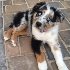 Want. Now. #australianshepherd #puppy