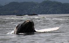 Humpback whale, Gulf of Nicoya, Costa Rica