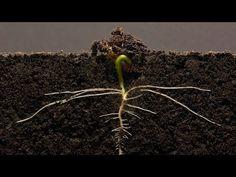 Bean Time-Lapse - 25 days   Soil cross section - YouTube