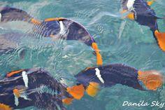 Tropical fishes. Puerto López. Ecuador.