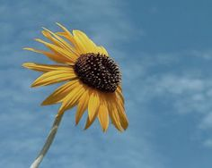 Bloompedia: When to Plant Sunflowers