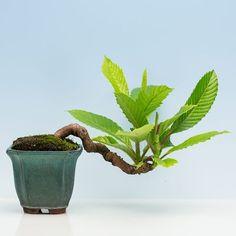 盆栽時間-竹化菴-盆栽賞--栗樹