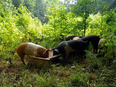Insights on Beginning a Pastured Pork Operation, by Worth Kimmel | A Growing Culture
