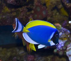 Colorful Animals, Colorful Fish, Tropical Fish, Reef Aquarium, Saltwater Aquarium, Beautiful Sea Creatures, Animals Beautiful, Fishing World, Salt Water Fish
