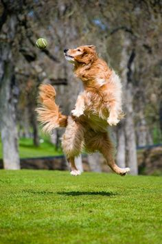 Golden Retriever Photo by Mike Neale -- National Geographic Your Shot