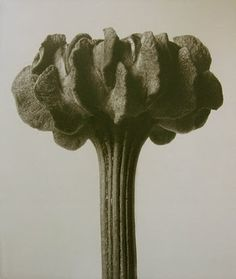 Karl Blossfeldt, plates from his book Art Forms in Chrysanthemum carinatum (Painted Daisy), enlarged 20 times Botanical Drawings, Botanical Art, Botanical Illustration, Karl Blossfeldt, Chrysanthemum, Natural Form Art, Daisy Painting, Royal Art, Patterns In Nature