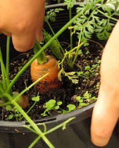 Do you know the best container gardening veggies? A variety of veggies that can easily be grown in pots. Perfect for growing vegetables without a garden. Simple tips for container gardening. Edible Plants, Plants, Growing Tomatoes In Containers, Growing Carrots, Planting Vegetables, Growing Vegetables, Tomato Growers, How To Plant Carrots, Container Gardening