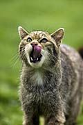 Photos - Scottish wildcat, Felis silvestris grampia