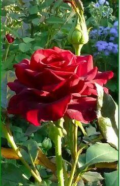 roses are reddddd <3