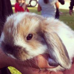 Precious holland lop #bunny #hollandlop