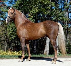 GabCreek Farm: Gab Creek Golden Vaquero, Palomino Foundation Morgan Stallion