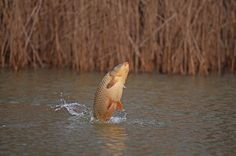 Why carp jump and what it means...  Shaun Harrison explains why carp jump and what the various movements mean...
