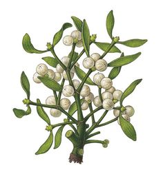 Viscum album (Mistletoe) - Old botanical print