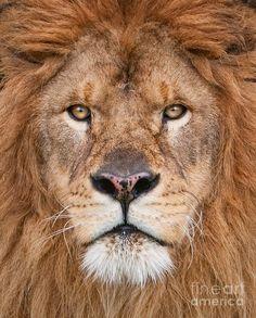 Lion Close Up | Lion Close Up Photograph
