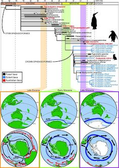 Fossils may reveal 20-million-year history of penguins in Australia