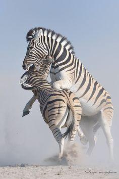 (via 500px / Zebra battle by Neal Cooper)