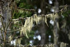 Usnea, also known as Old Man's Beard, is an amazing medicinal lichen that you can forage for in the winter! Usnea is a powerful herbal remedy best used in tincture form. It's commonly used as an immune tonic, and has antibiotic and antiviral properties, as well as wound healing benefits. Learn how to identity and forage for usnea in a sustainable way, and how to integrate it into your herbal medicine practice. Infection Des Sinus, Wild Poppies, California Poppy, Wild Edibles, Edible Plants, Medicinal Plants, Kraut, Herbal Remedies, Natural Remedies